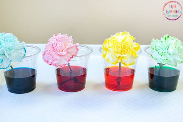 coloring changing flower science experiment for preschool kids